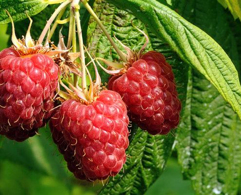 Frutta di produzione dell'agriturismo Il Maggiociondolo di Schio in provincia di vicenza